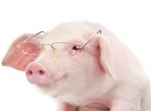 smart_pig